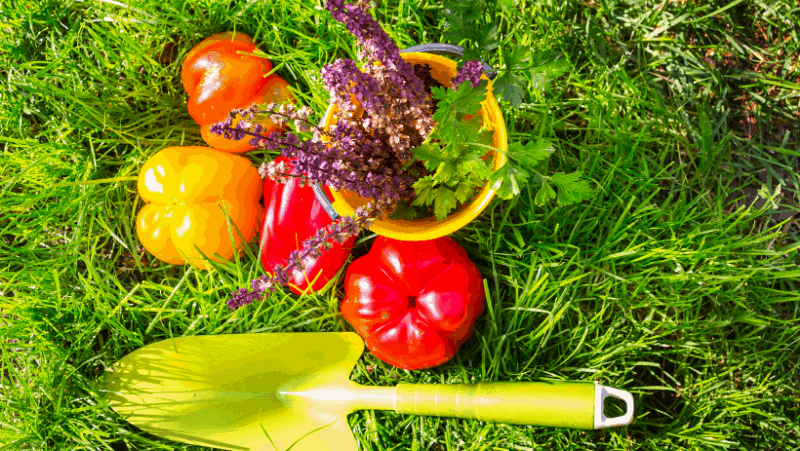 Decorative image of a trowel, bell peppers, lavender, and cilantro on green grass.