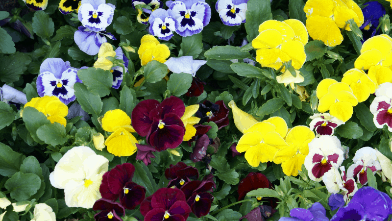 Decorative image of many varieties of pansies. Pansies are hardy plants, perfect for the beginner gardener.