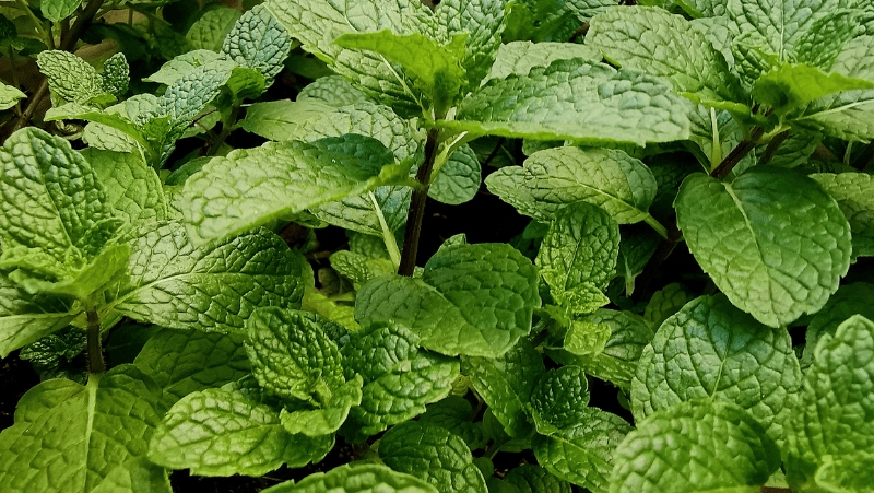 Decorative image of mint leaves. Mint is great for herbal remedies and is essential in any beginner garden.