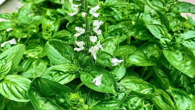 Decorative image of luscious basil plants. Basil is a perfect plant for the beginner gardener.