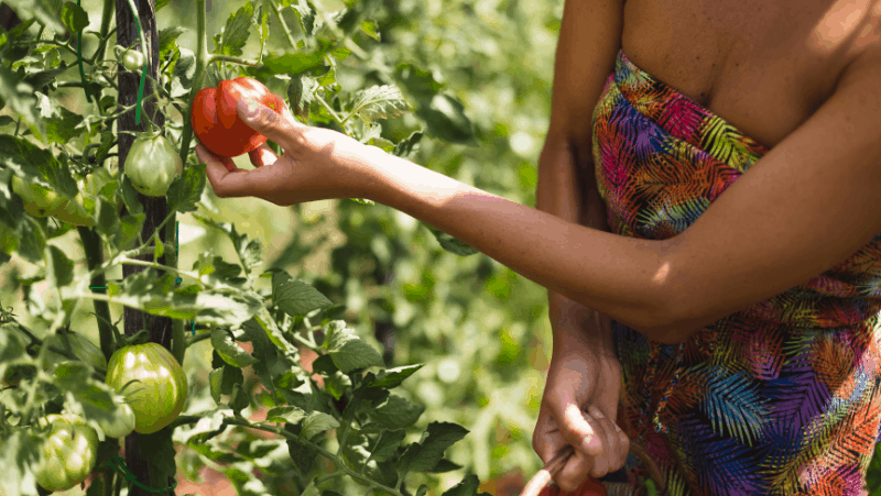 Decorative image of a woman plucking tomatoes from the vine in a garden for beginners